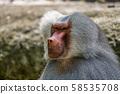 The hamadryas baboon, Papio hamadryas is a species of baboon 58535708