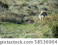 grey fox hunting on the grass South America 58536904