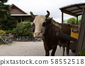 Cow with rope in the nose in seychelles 58552518
