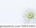 菊花白花背景素材 58561661