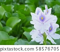 Mysterious water hyacinth 58576705