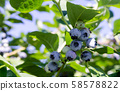 Blueberries in orchards 58578822