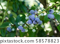 Blueberries in orchards 58578823