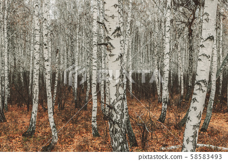 Birch autumn forest. White birch without foliage on a background of dry grass. Autumn nature 58583493