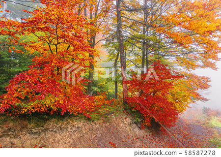 colorful foliage of beech trees in foggy weather 58587278