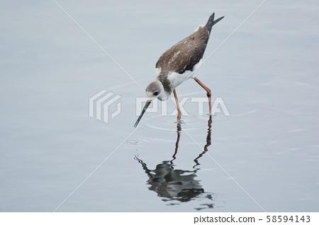 長腳鷸鳥(Himantopus himantopus)高蹺鷸在台灣. 58594143