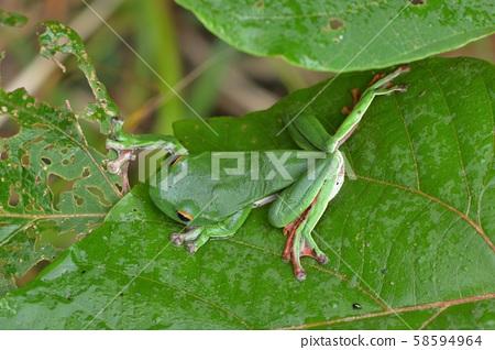 莫氏樹蛙(Rhacophorus moltrechti) Nantou tree frog 58594964