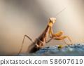 Macro Portrait of European Praying Mantis  58607619