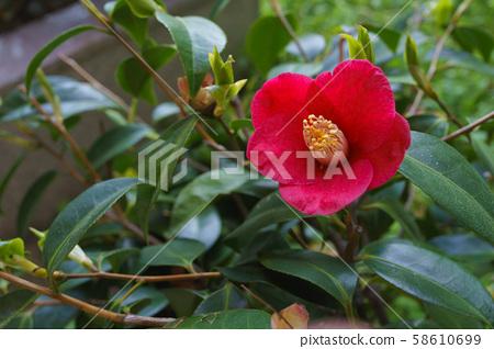 동백꽃,빨간꽃 58610699