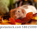 Rat sitting on colorful autumn leaves and looking 58615099