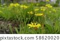 노랑선씀바귀 58620020