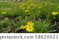 노랑선씀바귀 58620021