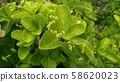 사철나무 58620023