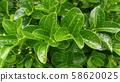 사철나무 58620025