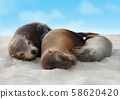 Sea Lions in sand lying on beach Galapagos Islands - Cute adorable Animals 58620420