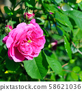 Beautiful rose on a background of green leaves. 58621036