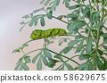 호랑 나비 終齢 3 일 (루) 58629675