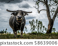 Thai buffalo are staring in countryside thailand 58639006