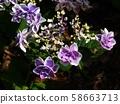 Purple Hydrangea 58663713