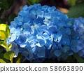Blue Hydrangea 58663890