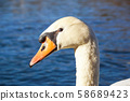 the head of a white swan on a background of blue water, drops on feathers, a red beak, close-up, a 58689423
