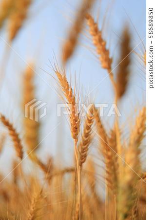 稻穗 58689850