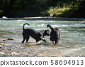 Two black Labrador Retrievers play together in the 58694913