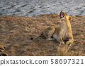 lions mating in kruger park south africa 58697321