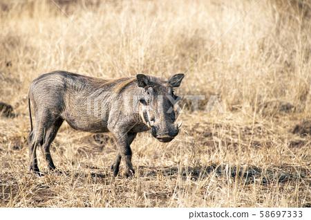 warthog in kruger park south africa 58697333