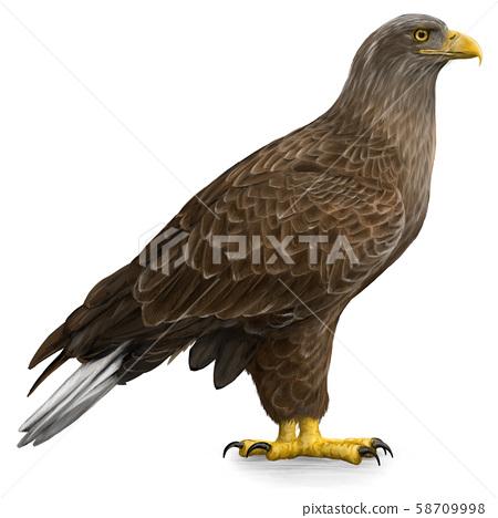 白尾鷹的插圖 58709998