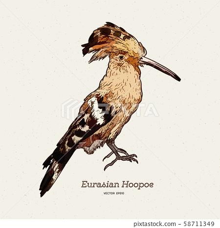 Hoopoe sketch, vector illustration. Hand drawn 58711349