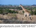 giraffe in kruger park south africa 58716407