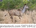 Greater kudu african antelope running in Kruger 58716412