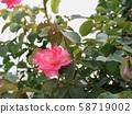 一朵玫瑰 58719002