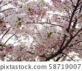 櫻桃樹 58719007