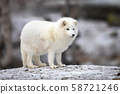 Arctic fox in white winter coat standing on a large rock 58721246