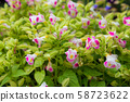 Beautiful purple and white morning glory flowers 58723622
