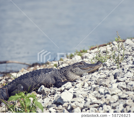 Young alligator basking near lake 58726825