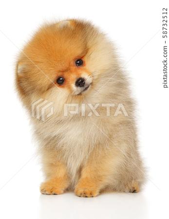 Pomeranian Spitz puppy 58732512
