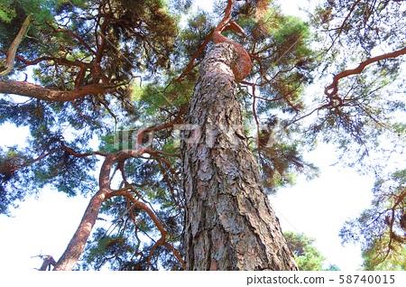 늘푸른소나무 58740015