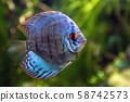 Discus in an aquarium on a green background 58742573