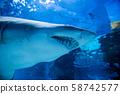 Underwater great white shark 58742577