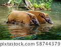 Red river hog, Potamochoerus porcus, also known as the bush pig. 58744379