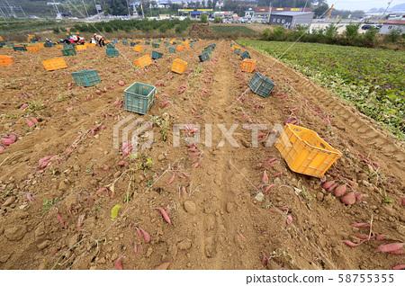 고구마수확, 고구마밭 58755355
