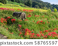 Rice fields and cluster amaryllis 58765597