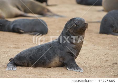 南部非洲海豹兒童 58773885