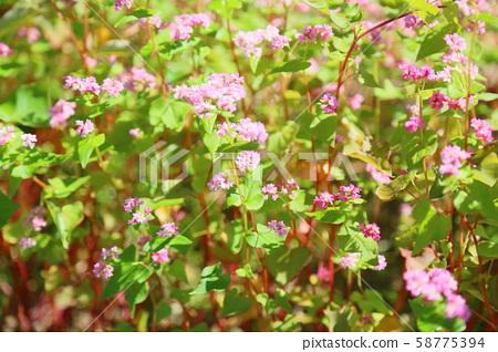 붉은 메밀 꽃 58775394