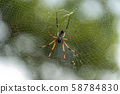 seychelles palm spider on web 58784830