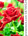 A beautiful red rose. 58790524