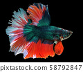 beautiful green Thai fighting fish swimming with long fins and red white colorful long tail gene. fighting fish isolated on black background. 58792847